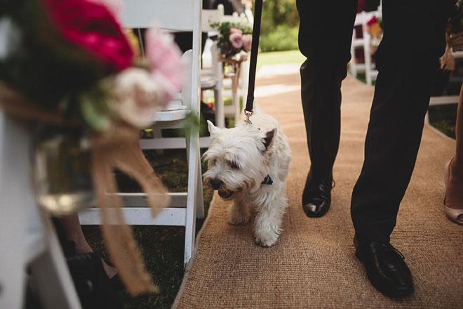 Westie dog.